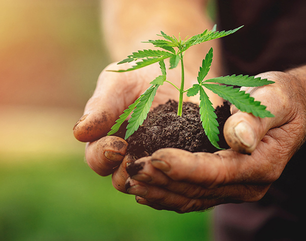 Man holding young cannabis plant in cupped hands